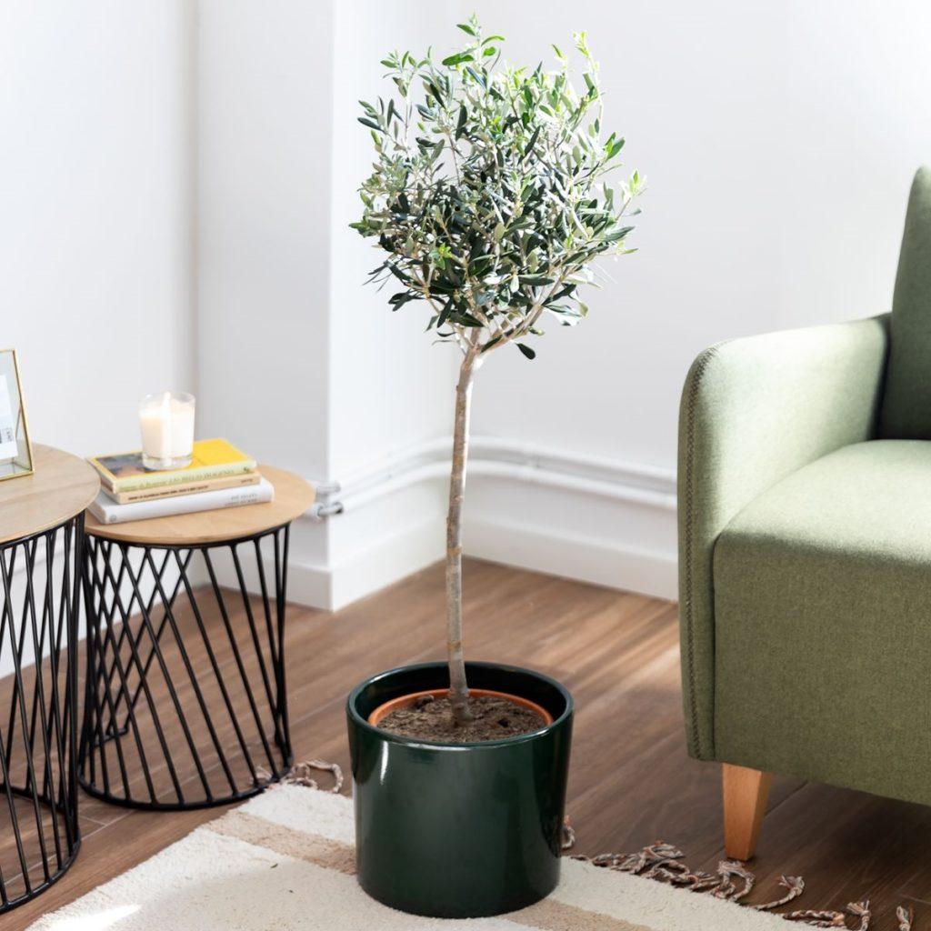 Comprare olivo grande online