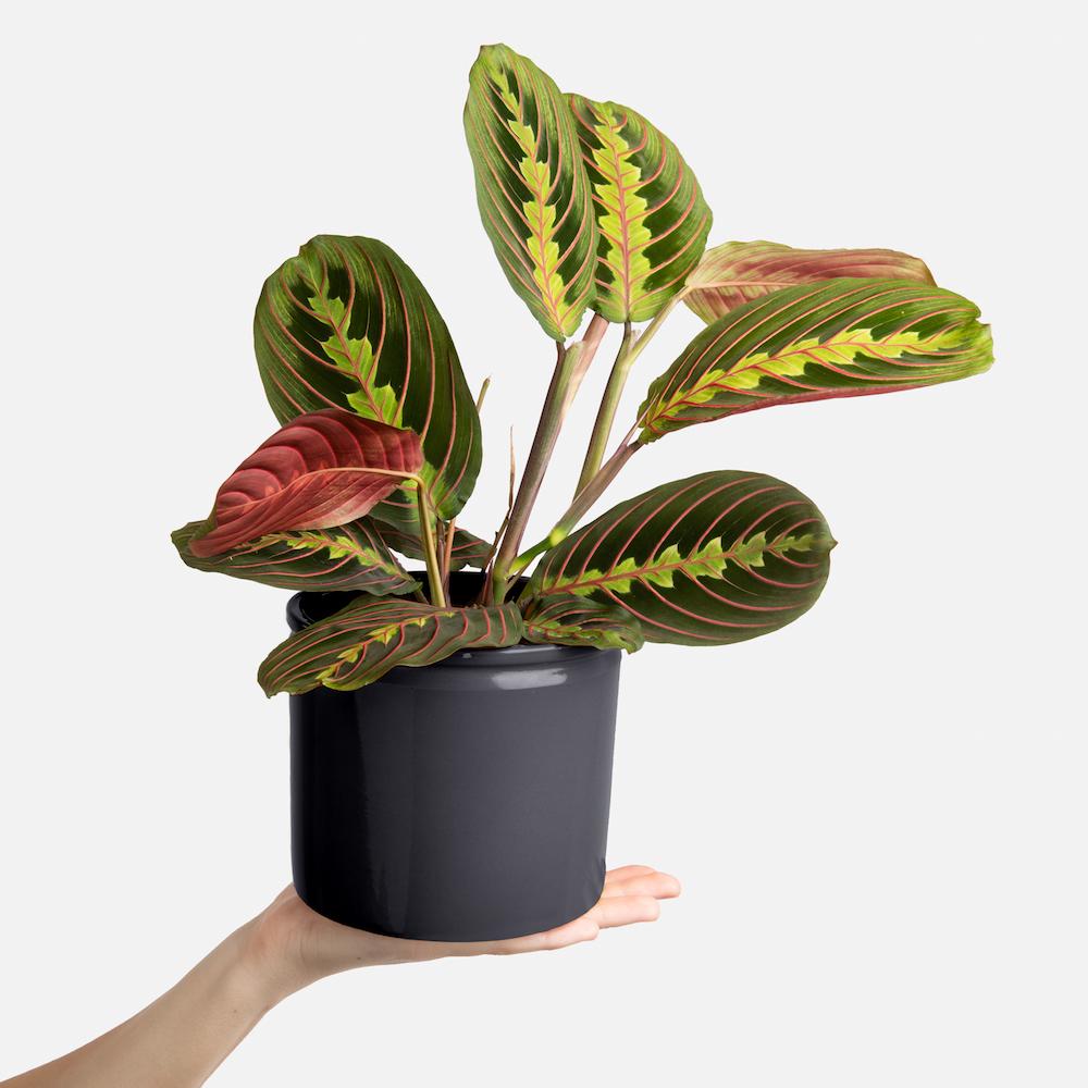 maranta pianta