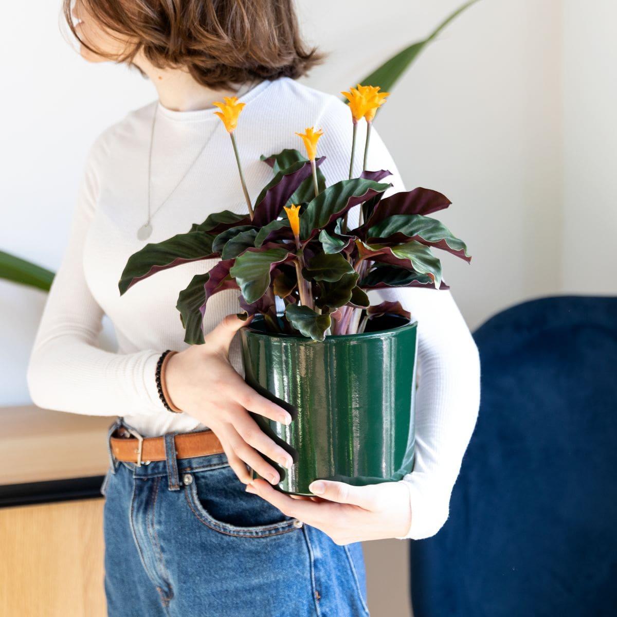pianta calathea crocata