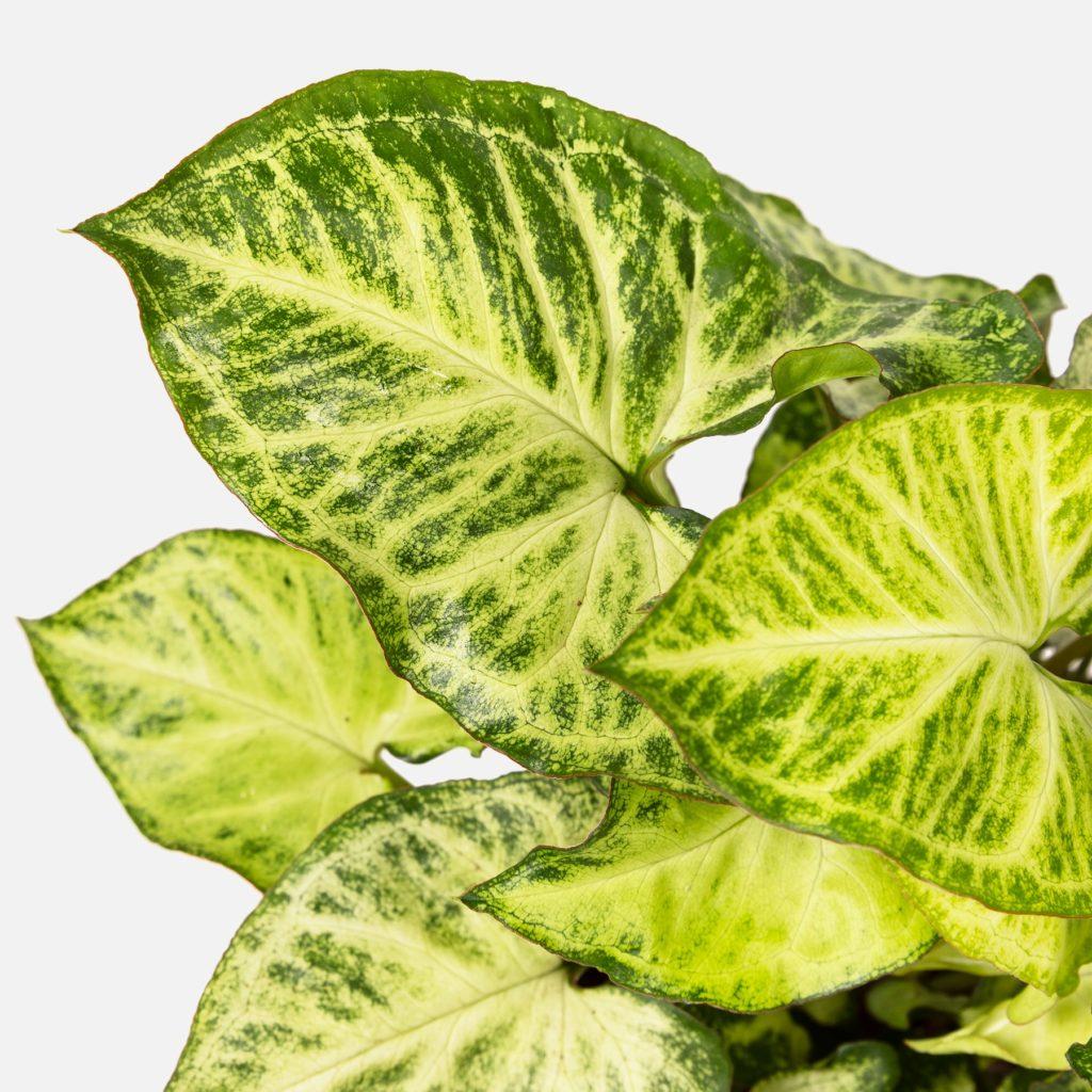 Prendersi cura del Syngonium? È il momento di diventare un grande plant lover