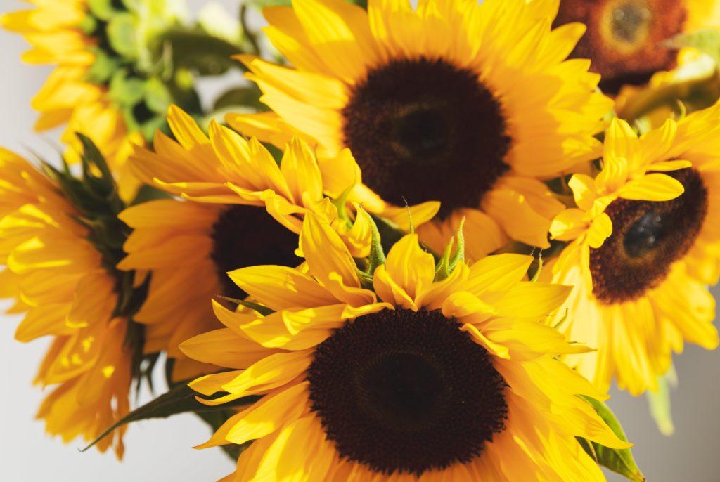 Girasoli: cura, significato e origine del fiore del Sole