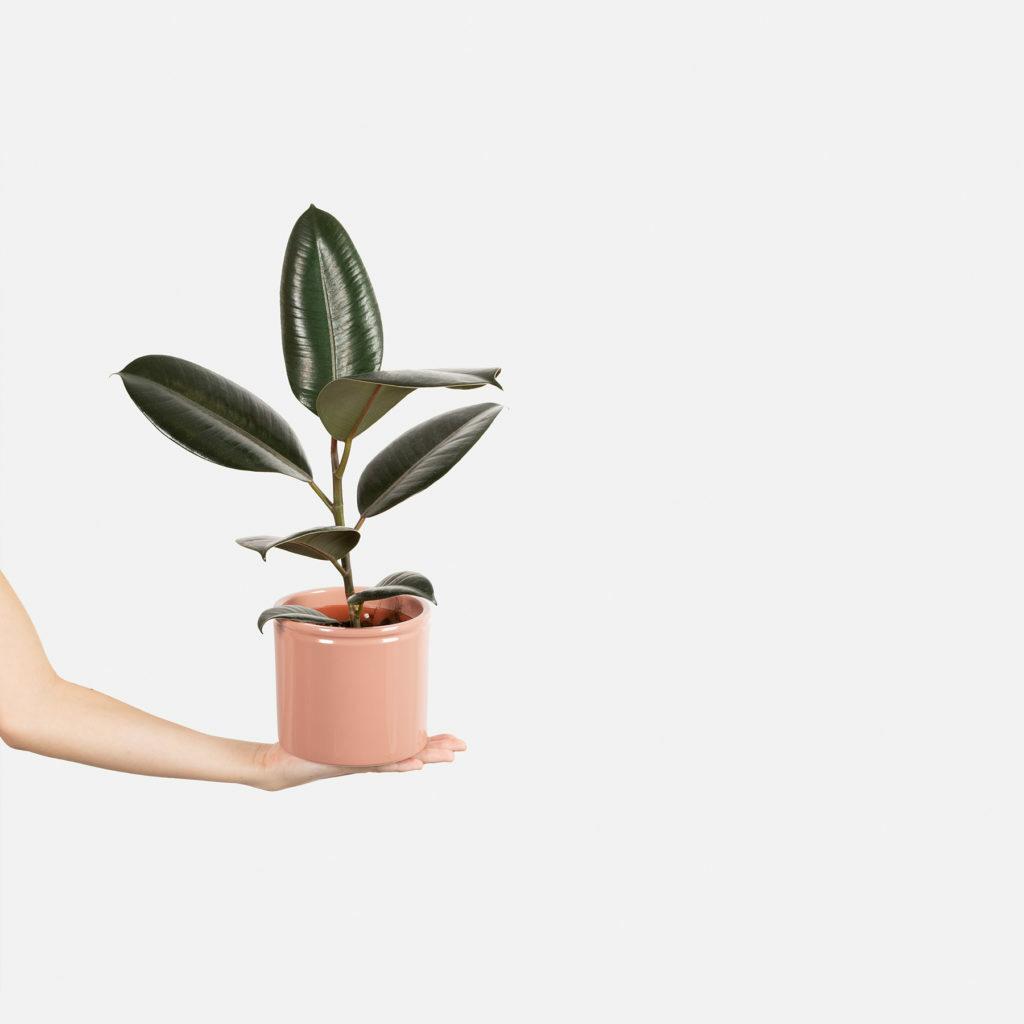 Scopri come prenderti cura del Ficus Elastica