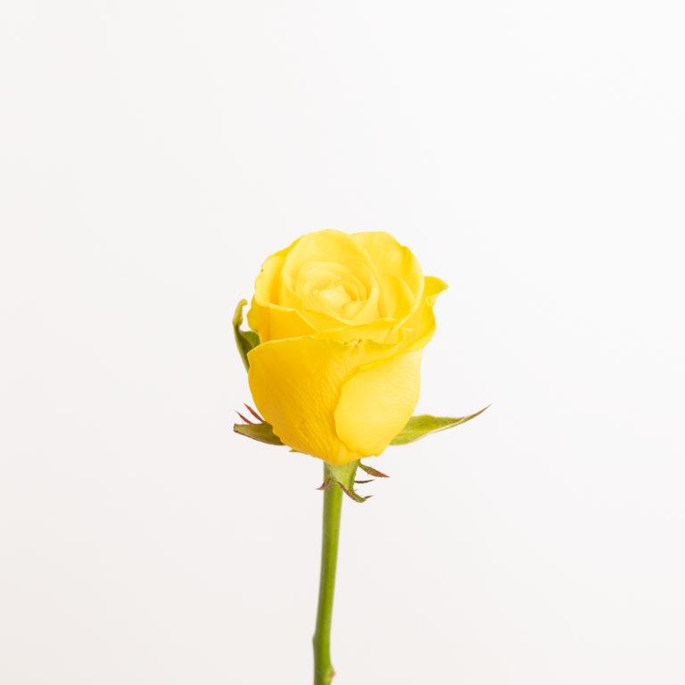Rosa di colore giallo