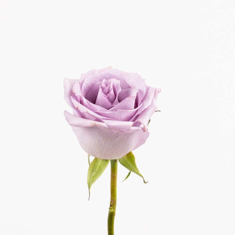 Rosa di colore violetto