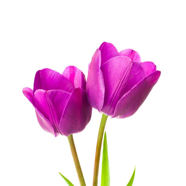 Tulipani di colore violetto