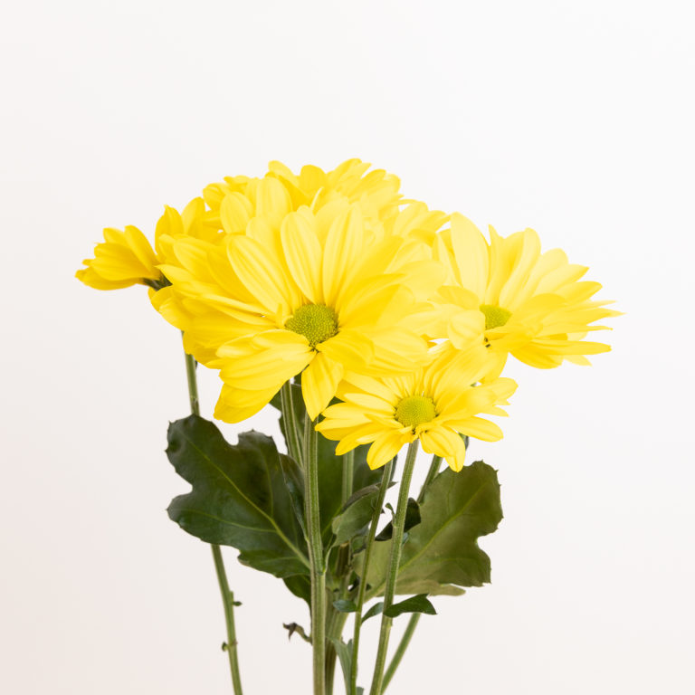 Crisantemi di colore giallo