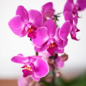 Orchidee di colore viola