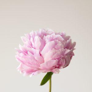 Fiore di colore rosa