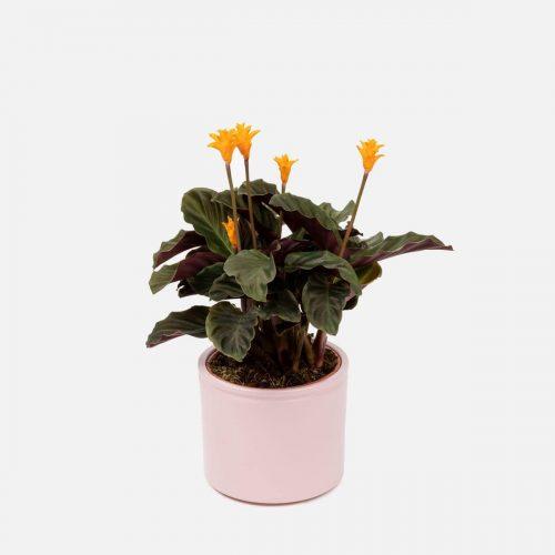 calathea crocata o pianta a forma di diamma