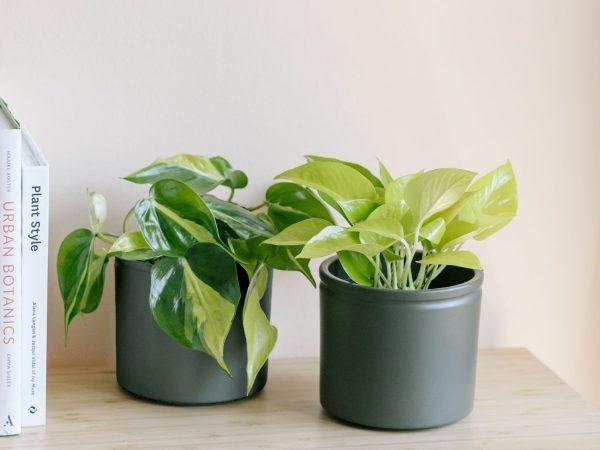 piante da scrivania