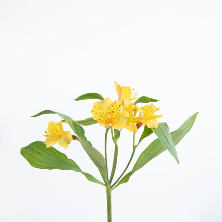 Astromélias amarelhas com folhas