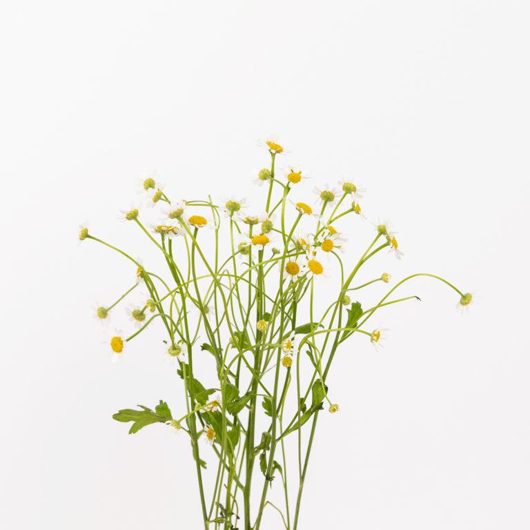 Margaridas com pé e folhas