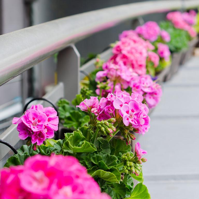Gerânios plantados na varanda