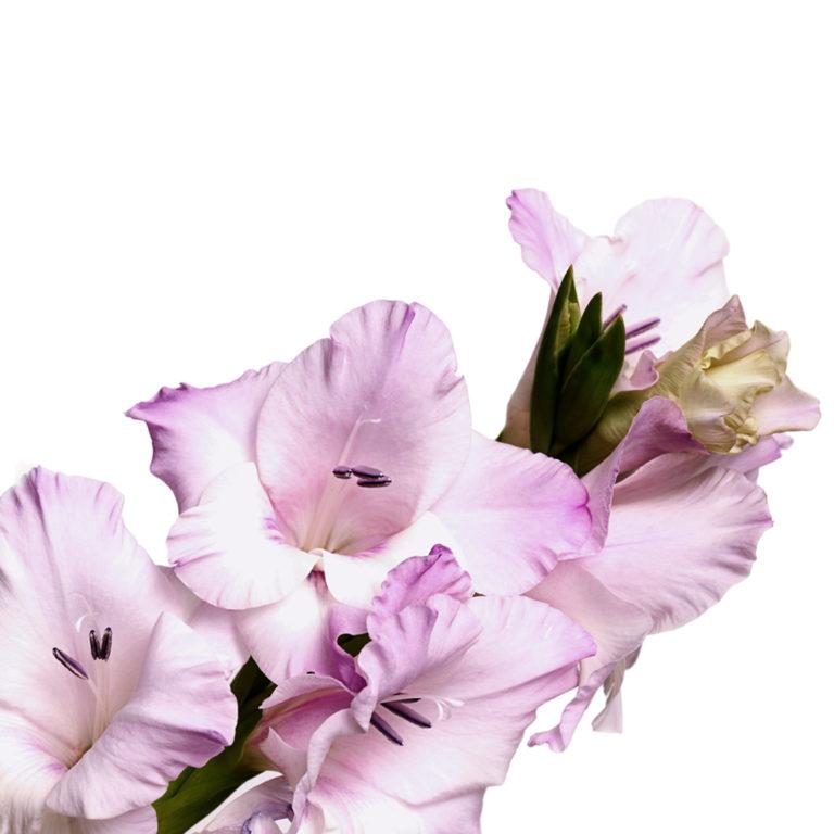 Gladíolos violeta