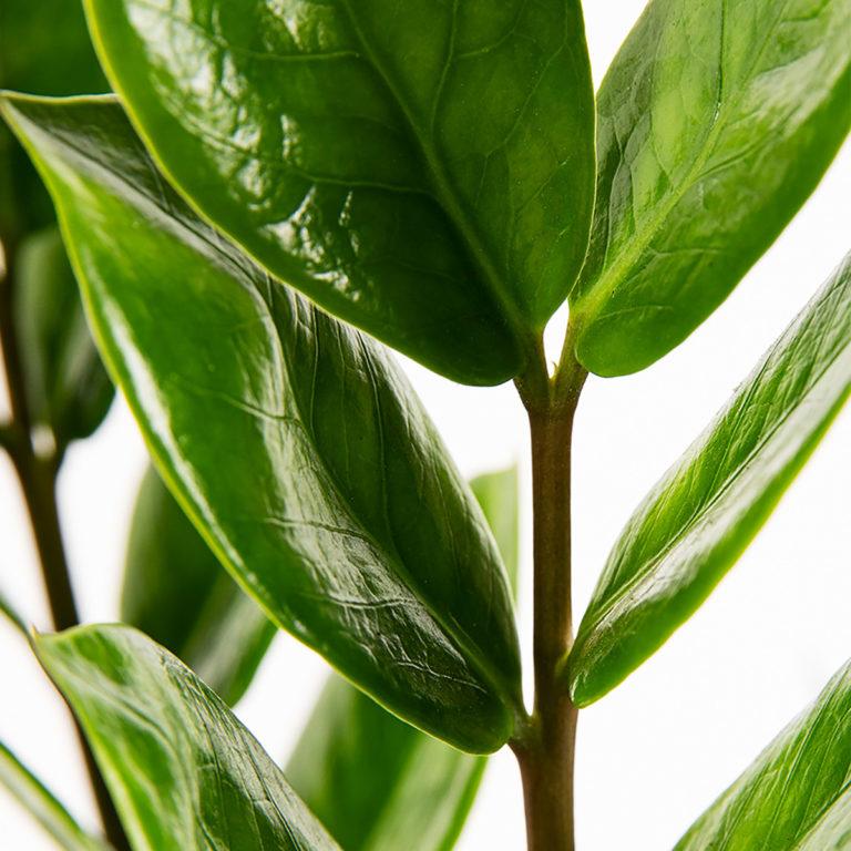 Folhas de Planta Fiona