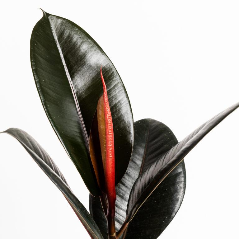 Planta gala