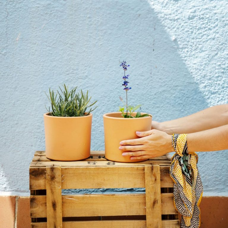 plantas aromáticas online lavanda e sálvia