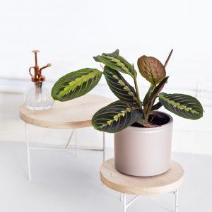 Plantas médias