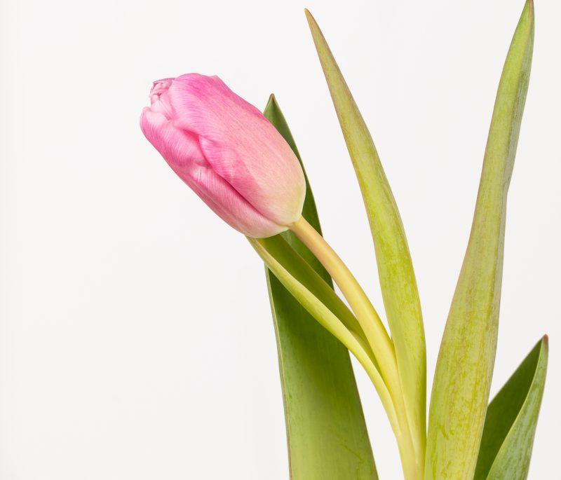 ramo de tulipas ao domicílio.