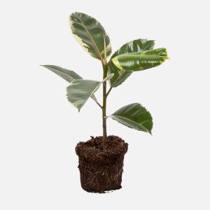 Ficus Tinekee_02