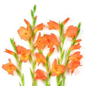 Gladíolos laranja