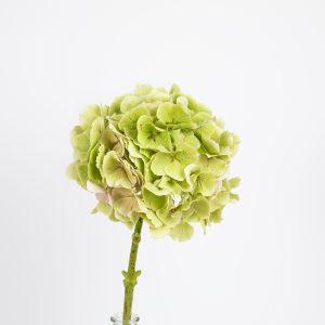 Hortênsia verde-clara