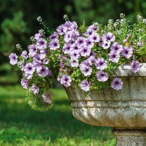 Petúnias plantadas num vaso