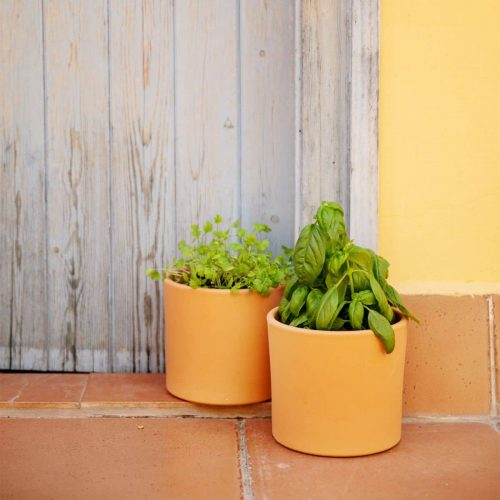 plantas aromáticas online coentro e manjericão